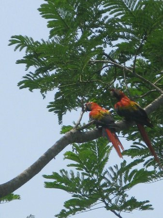 Pura Vida Gardens and Waterfalls: scarlet macaws
