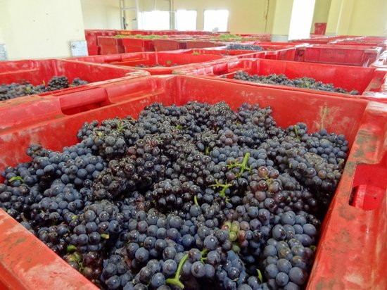Champagne Route (Route Touristique du Champagne) : Grapes fresh from the fields ready to crushed into wine