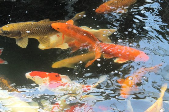 Butterfly World and Fountain World: Koi looking for their next meal