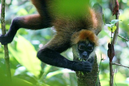 Martina's Place Hostel: Spider Monkey at San Pedrillo Station, Corcovado, Tour $80