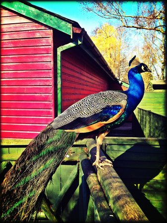 Trago Mills Family Shopping & Leisure Park: One of the many peacocks at Trago Mills