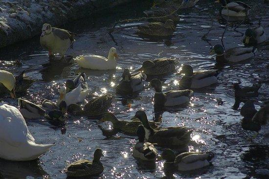 Parc Josaphat: Les animaux dans l'étang
