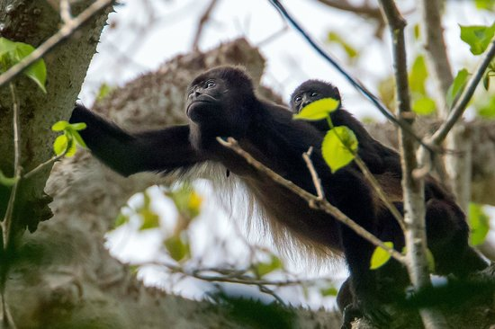 La Ensenada Lodge: Howler Monkeys on the entrance road