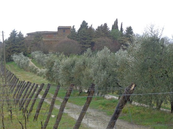 Tuscan Wine Tours by Grape Tours: Olive trees
