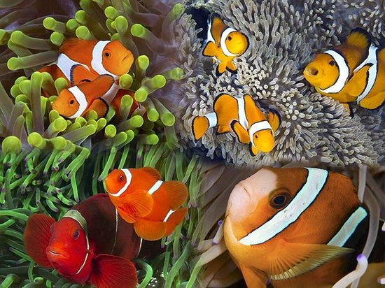 Wakatobi Dive Resort: Clownfish of all kinds live under the jetty bar