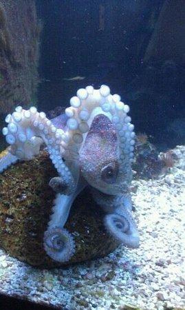 University of Georgia's Marine Education Center and Aquarium: the octopus