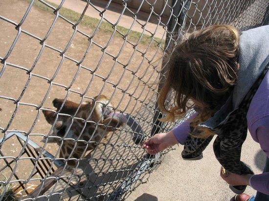 Abilene Zoo: Feeding the giraffe