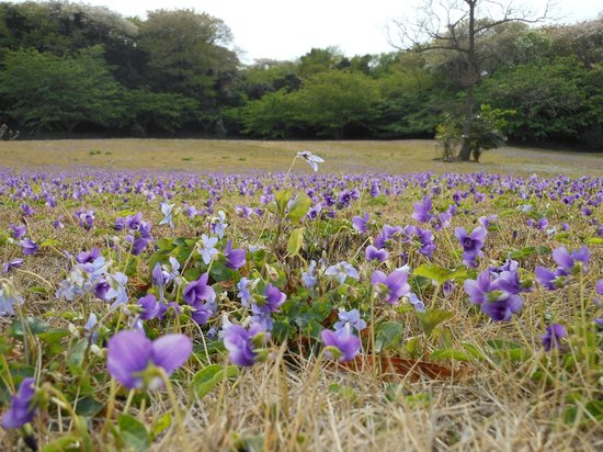Tsubakihana Garden Squirrel Village : スミレの群生