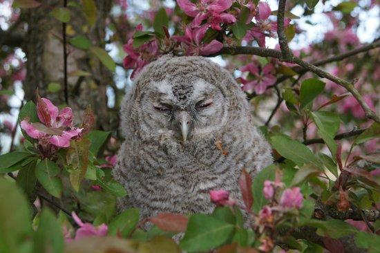 Hejrede Friluftsgaard: Ugleunge i paradisæbletræet