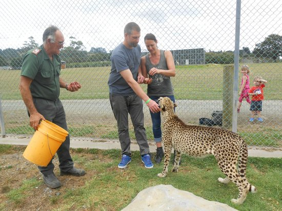 Kamo Wildlife Sanctuary: Cheetah encounter - feeding