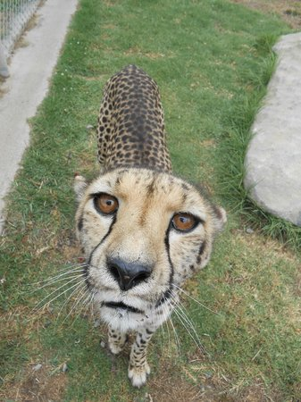 Kamo Wildlife Sanctuary: Cheetah close-up