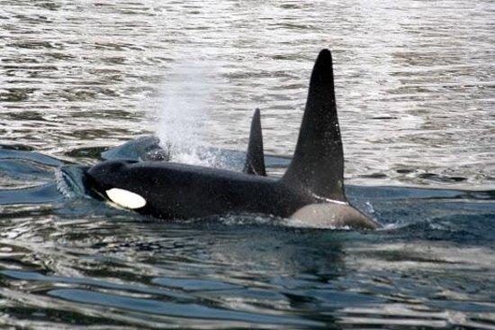 Laki Tours : orcinus orca