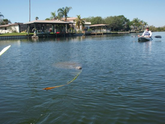Ric Hinmans Lazy Days Kayak Tours: Our Friend the Manatee
