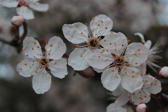 Tenuta Sant'Agnese : Almendros en flor