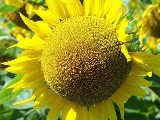 Rosebelle's Victorian Inn: Sunflower