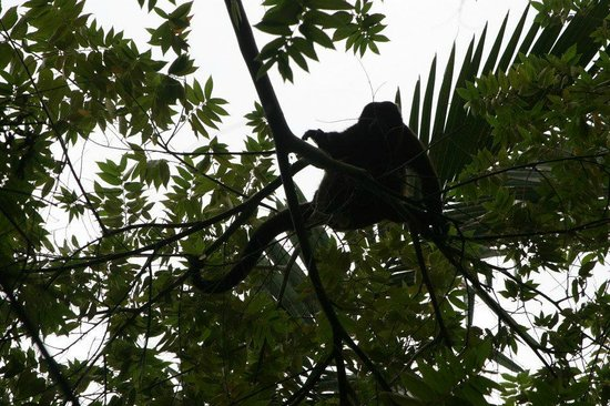 Refugio Nacional Mixto de Vida Silvestre Romelia: Mono congo