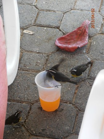ClubHotel Riu Merengue: watch your drinks, finches love them :)