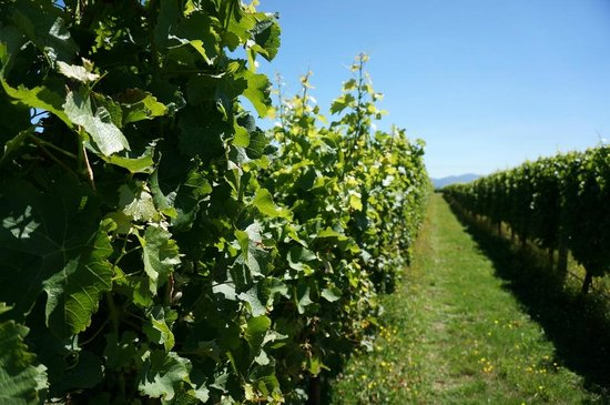 Blenheim, New Zealand: Vineyard