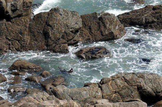Cape Foulwind Walkway: Swimming seal.