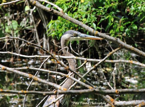Run of the River: Heron in the Refuge by Pete Freund