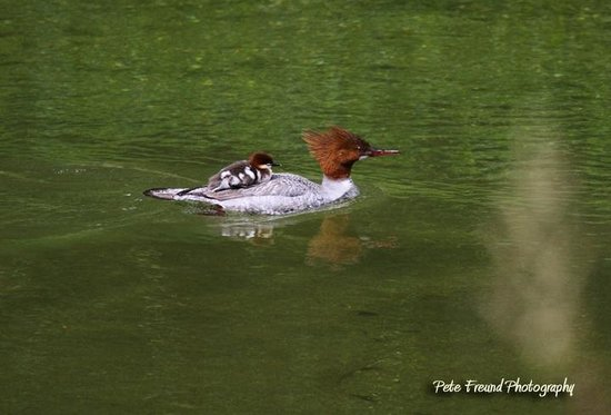 Run of the River: Merganzer momma and baby by Pete Freund
