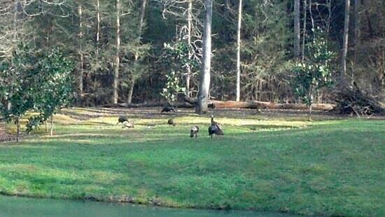 Cavender Creek Cabins Resort: Turkeys near pond view from Cabin 8