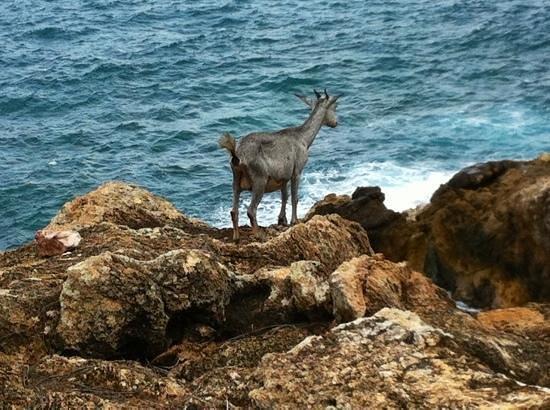 Toiny Coast: goat near the natural pools