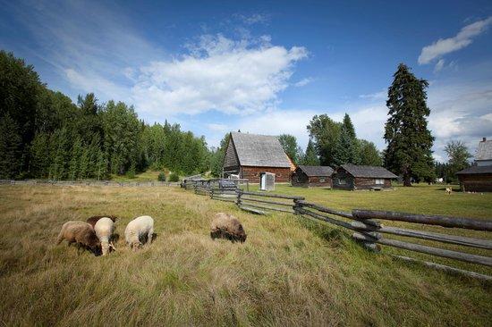 Huble Homestead Historic Site: Sheep at Huble Homestead.