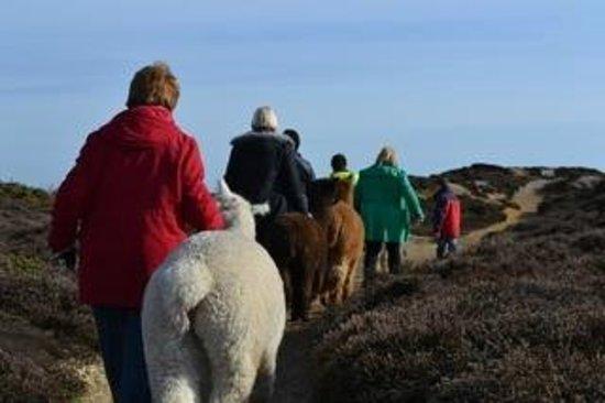 Wellow, UK: Alpaca Trekking