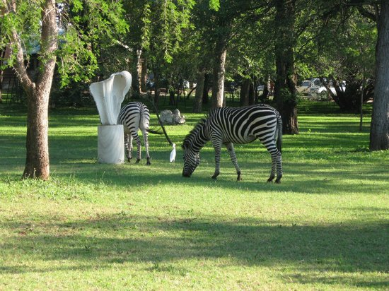 AVANI Victoria Falls Resort: Live zebras feed in the afternoon