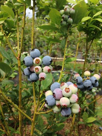 Berry Best Farm: Spring 2013 ready for U-pick