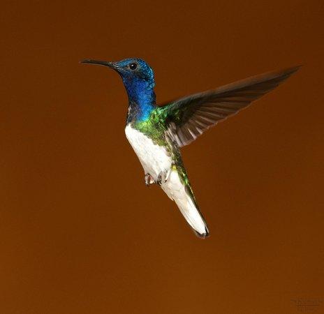 Dave & Dave's Costa Rica Nature Park: White necked jacobin hummingbird, male