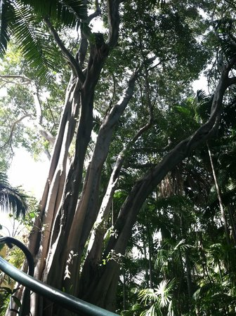 Virginia Robinson Gardens: towering tree edges the driveway and stairway into palm forest