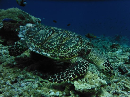 Vilamendhoo Island Resort & Spa: tortue