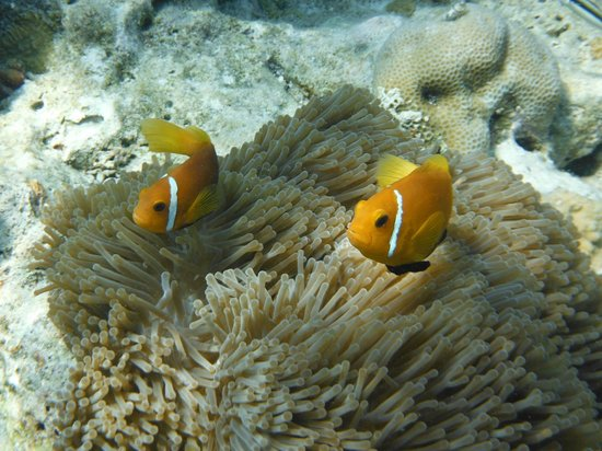 Vilamendhoo Island Resort & Spa: poisson clowns