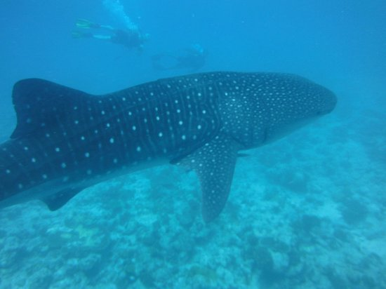 Vilamendhoo Island Resort & Spa: requin baleine