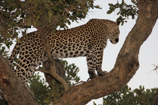 Motswari Private Game Reserve: Leopard in a tree