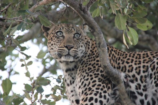 Motswari Private Game Reserve: Beatyful leopard