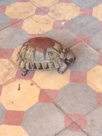 Hostel Riad Marrakech Rouge: friendly tortoises on the roof terrace