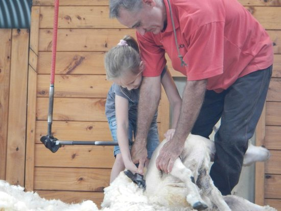 Sheepworld: hands on sheep shearing