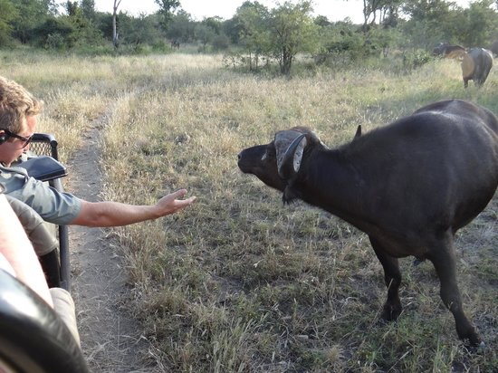 Pondoro Game Lodge: Mark within an arms reach of a cape buffalo
