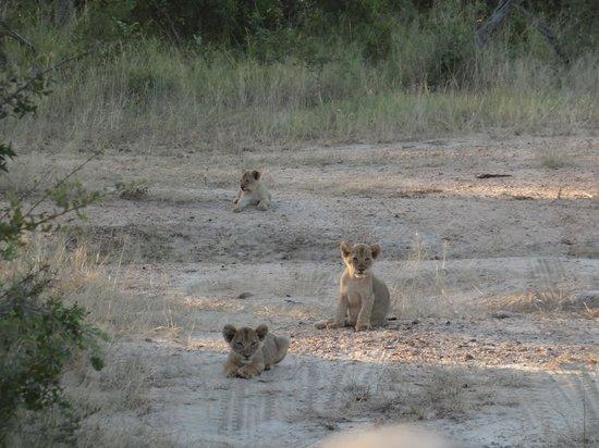 Pondoro Game Lodge: Lion Cubs