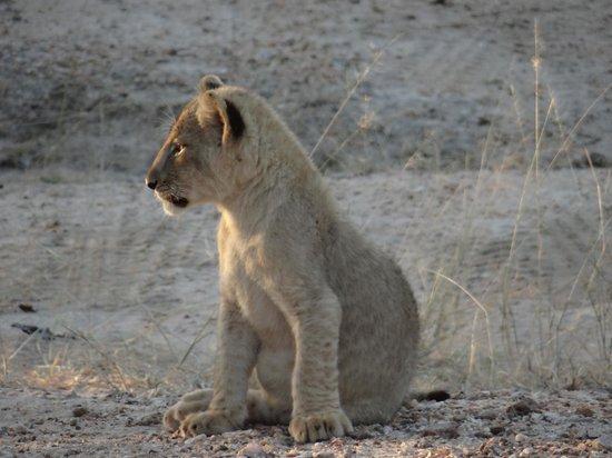 Pondoro Game Lodge: Lion Cub