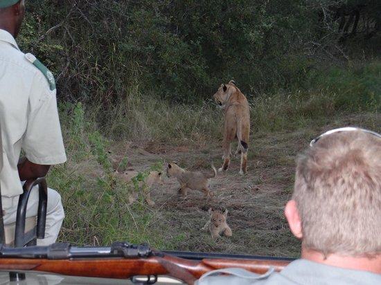 Pondoro Game Lodge: Lion w/ Cubs