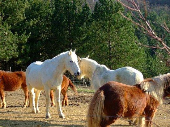Les Eco Logis d'Ensarnaut: les chevaux