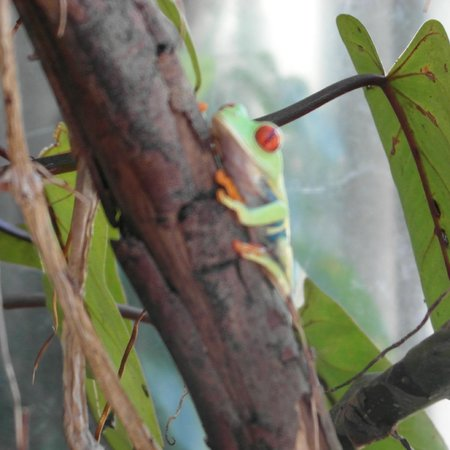 Hacienda Guachipelin : Frog from nearby butterfly, amphibian and reptile exhibit