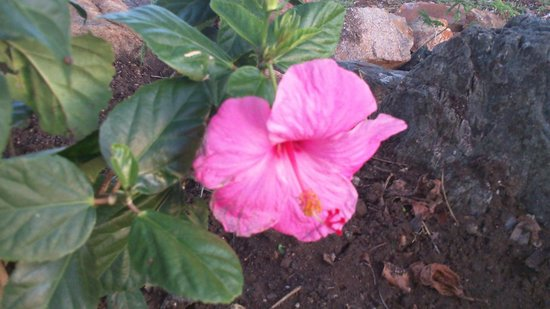 Paradise Cove Oceanfront Villas & Suites: Hibiscus Flowers