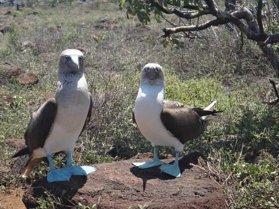 Finch Bay Eco Hotel: blue-footed boobies