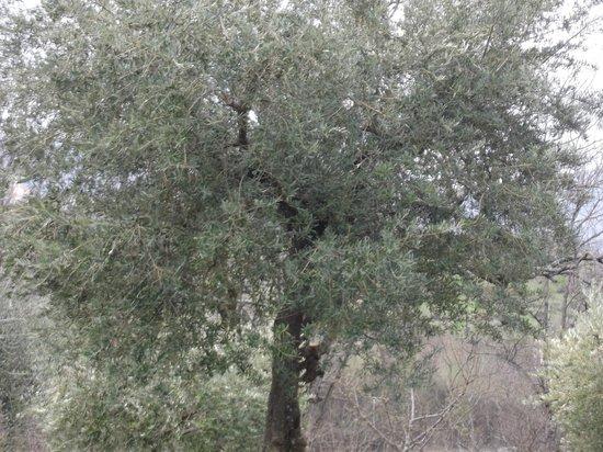 Agriturismo Fiore: ulivi in giardino