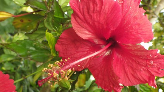 Ceiba Country Inn: Flower